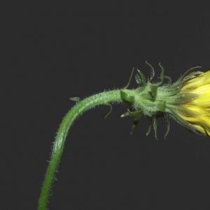 Photographie n°14250 du taxon Picris hieracioides L.