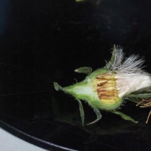 Photographie n°14252 du taxon Picris hieracioides L.