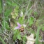 Violaine VANPOUILLE - Ophrys apifera Huds.