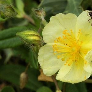 Helianthemum x sulphureum Willd. ex Schltdl. (Hélianthème soufré)