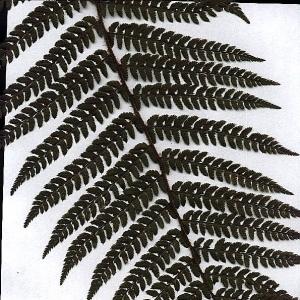 Photographie n°15277 du taxon Polystichum aculeatum (L.) Roth [1799]