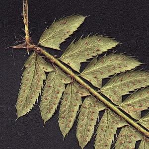 Photographie n°15278 du taxon Polystichum aculeatum (L.) Roth [1799]