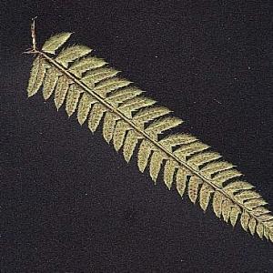 Photographie n°15279 du taxon Polystichum aculeatum (L.) Roth [1799]