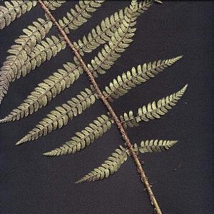 Photographie n°15280 du taxon Polystichum aculeatum (L.) Roth [1799]