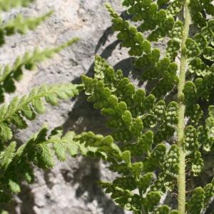 Dryopteris villarii (Bellardi) Woyn. ex Schinz & Thell. (Dryoptéris de Villars)