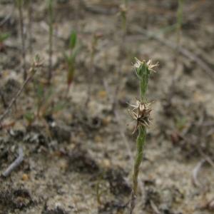 Photographie n°15432 du taxon Logfia minima (Sm.) Dumort. [1827]