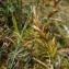 Jérôme SEGONDS - Carex arenaria L.