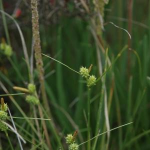 Carex balbisii Spreng. (Laiche étirée)