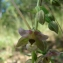 Paul Fabre - Epipactis helleborine subsp. helleborine