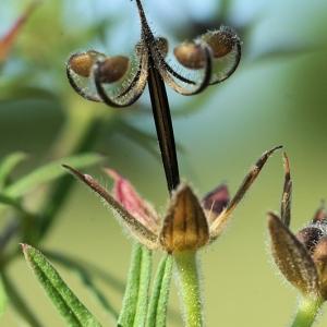 Photographie n°15498 du taxon Geranium dissectum L.