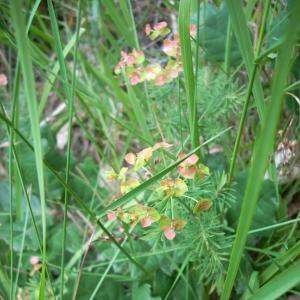 Photographie n°15502 du taxon Euphorbia cyparissias L. [1753]