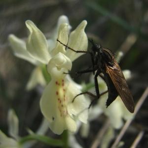 Photographie n°15507 du taxon Orchis provincialis Balb. ex DC.