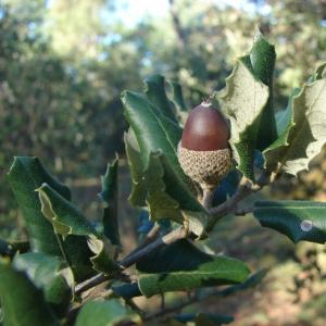 Photographie n°15517 du taxon Quercus ilex L. [1753]