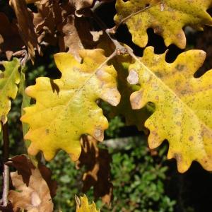 Photographie n°15518 du taxon Quercus pubescens Willd. [1805]
