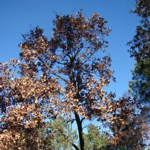 Photographie n°15519 du taxon Quercus pubescens Willd. [1805]