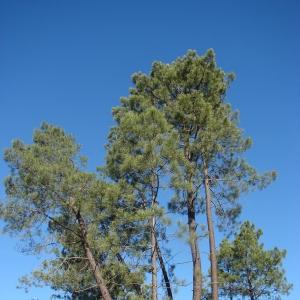 Photographie n°15529 du taxon Pinus pinaster Aiton [1789]