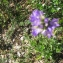 Thomas BATHIARD - Campanula glomerata subsp. cervicarioides (Schult.) Arcang. [1882]