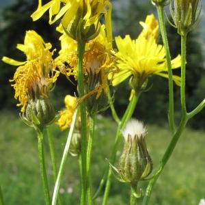 Photographie n°15638 du taxon Crepis biennis L. [1753]