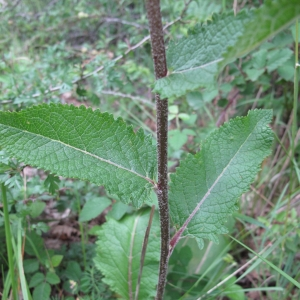 Photographie n°15681 du taxon Verbascum chaixii Vill.