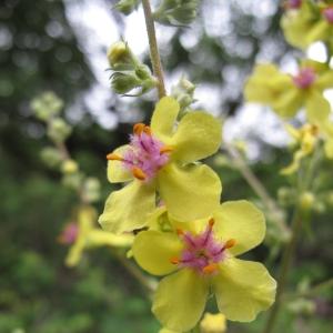 Photographie n°15685 du taxon Verbascum chaixii Vill.