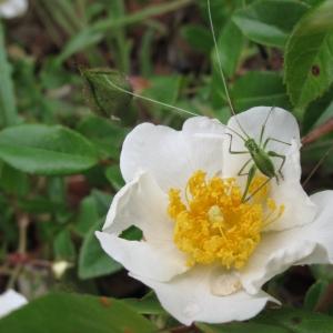 Rosa sempervirens L. [1753] (Églantier sempervirent)