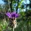 Marie  Portas - Centaurea triumfetti subsp. axillaris (Celak.) Dostál [1931]