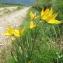 Marie  Portas - Tulipa sylvestris subsp. australis (Link) Pamp.