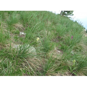 Patzkea paniculata (L.) G.H.Loos [2010] (Fétuque paniculée)