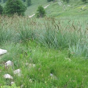 - Festuca paniculata subsp. paniculata