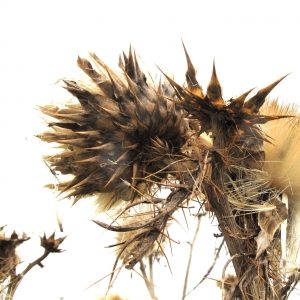 Photographie n°15801 du taxon Cynara cardunculus L.