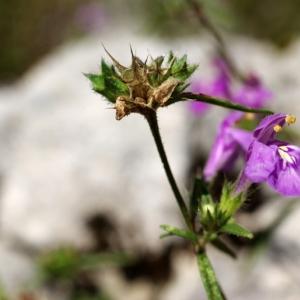Photographie n°15819 du taxon Galeopsis angustifolia Ehrh. ex Hoffm. [1804]