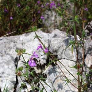 Photographie n°15821 du taxon Galeopsis angustifolia Ehrh. ex Hoffm. [1804]