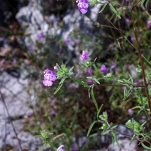 Photographie n°15822 du taxon Galeopsis angustifolia Ehrh. ex Hoffm. [1804]