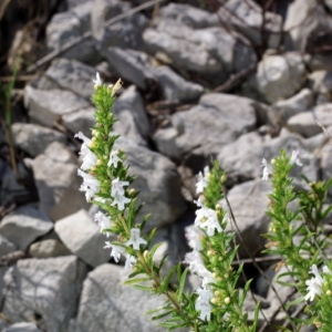 Photographie n°15824 du taxon Satureja montana L. [1753]