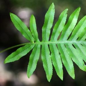 Photographie n°15849 du taxon Polypodium cambricum L.