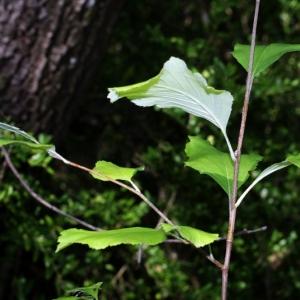 Photographie n°15862 du taxon Sorbus aria (L.) Crantz