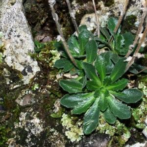 Photographie n°15867 du taxon Arabis collina Ten. [1815]