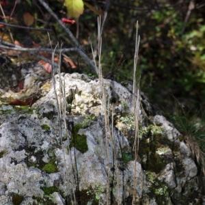 Photographie n°15868 du taxon Arabis collina Ten. [1815]