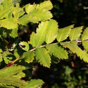 Photographie n°15877 du taxon Sorbus domestica L. [1753]