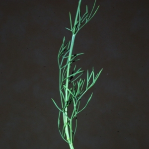 Photographie n°15884 du taxon Seseli galloprovinciale Reduron [1993]