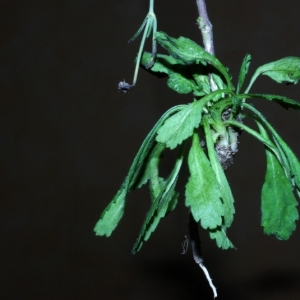 Photographie n°15885 du taxon Scabiosa columbaria L. [1753]
