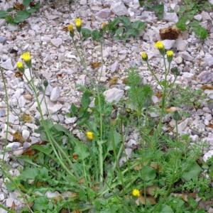 Photographie n°15933 du taxon Crepis sancta subsp. nemausensis (Vill.) Babc. [1941]