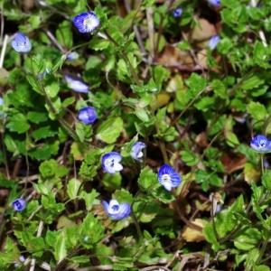 Photographie n°15958 du taxon Veronica persica Poir.