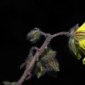 Photographie n°15989 du taxon Helianthemum nummularium subsp. nummularium