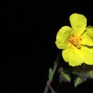 Photographie n°15990 du taxon Helianthemum nummularium subsp. nummularium