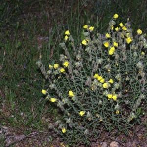 Photographie n°15991 du taxon Helianthemum nummularium subsp. nummularium