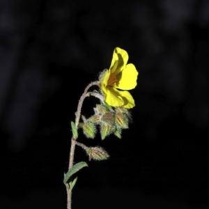 Photographie n°15992 du taxon Helianthemum nummularium subsp. nummularium