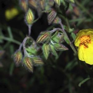 Photographie n°15993 du taxon Helianthemum nummularium subsp. nummularium