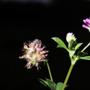 Photographie n°16016 du taxon Trifolium resupinatum L. [1753]