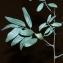 Daniel Mathieu - Elaeagnus angustifolia L. [1753]